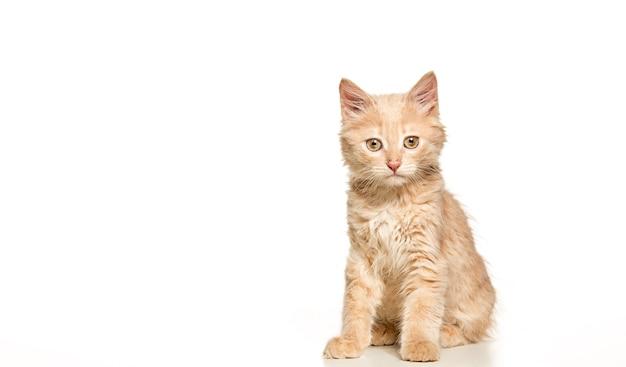 白いスタジオの背景に赤または白の猫