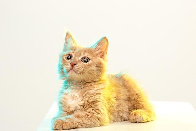 흰색 스튜디오 배경에 빨간색 또는 흰색 고양이
