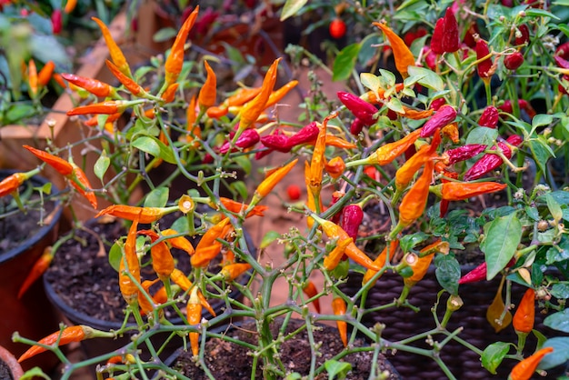 Red and orange hot peppers.