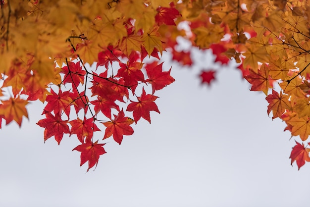 Red and orange maple leave on tree for background.
