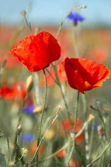 Red and orange poppies, bright blue cornflowers on a field outside. toned spring natural background.