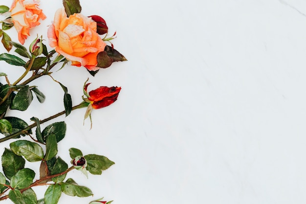 Red and orange roses on white marble background