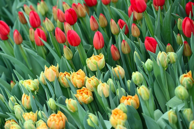 Red and orange tulips on green field