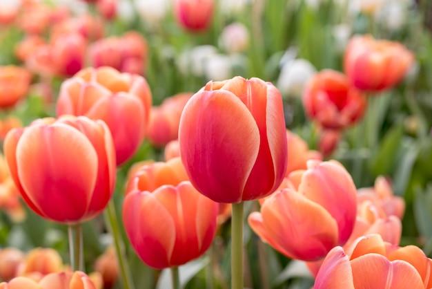 Красные оранжевые тюльпаны в клумбе весной в районг