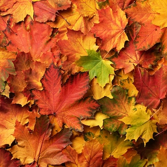 Red, orange, yellow and green maple leaves background.