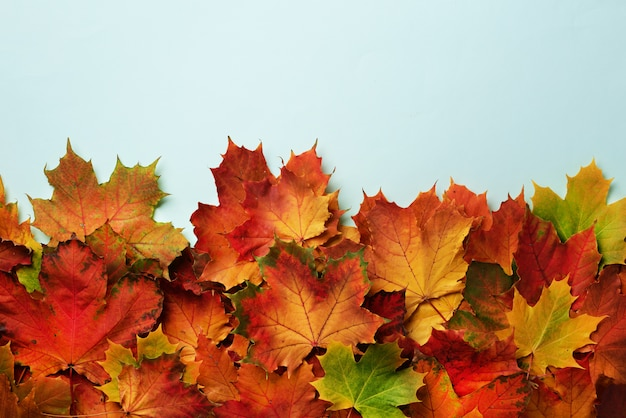 Red, orange, yellow and green maple leaves on blue background.