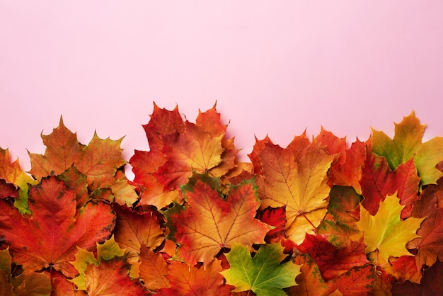 Red, orange, yellow and green maple leaves on pink background.