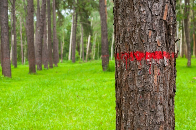 Red painted on the bark of pine tree trunk in autumn forest