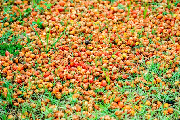 Red palm seed fall on green grass in garden
