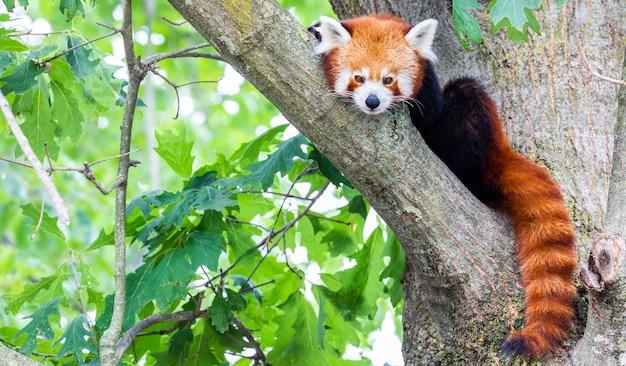 レッサーパンダ-ailurusfulgens-ポートレート。木の上で怠惰に休んでいるかわいい動物、環境の概念に役立ちます。