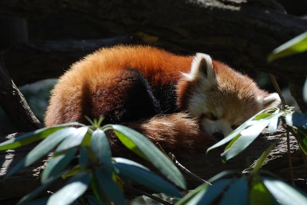 Orso panda rosso rannicchiato e addormentato.