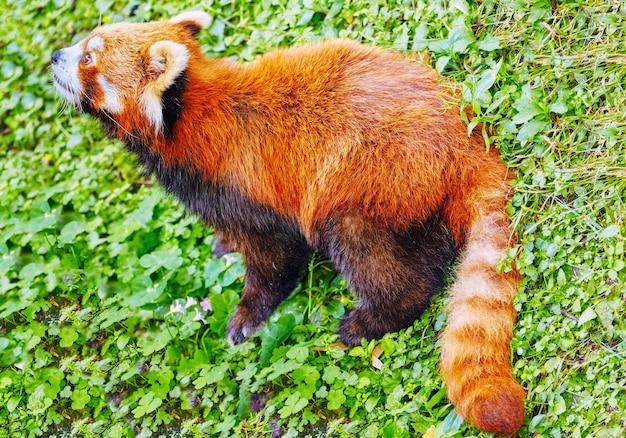 야생의 자연 서식지에 있는 레드 팬더.