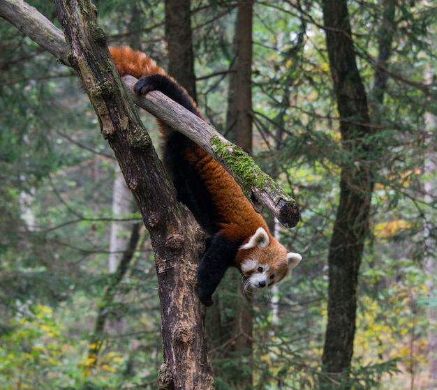 Red panda standing on brown tree trunk at daytime