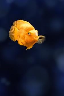 Red parrot cichlid fish in aquarium. orange parrot fish on background blue water