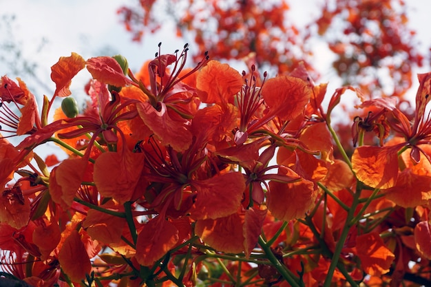 Red peacock flowers or caesalpinia pulcherrima flowers that are blooming in bright colors