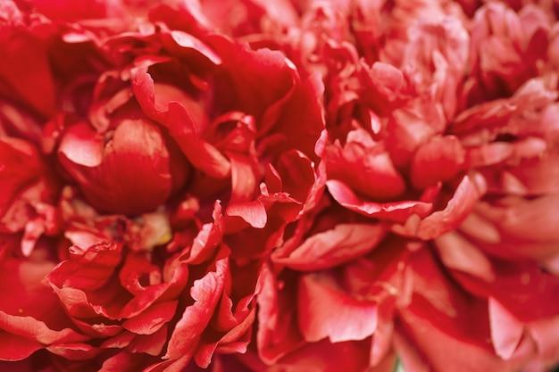Красный пион цветочный фон. естественный цветочный фон с лепестками пиона крупным планом. макро фотография.