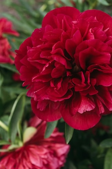 Red peony flower,close-up with selective focus. beautiful peony flower for catalog or online store.