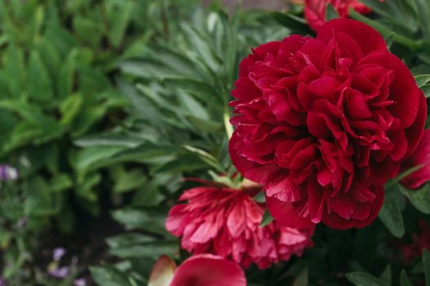 Красный цветок пиона, крупный план с выборочным фокусом. красивый цветок пиона для каталога или интернет-магазина.