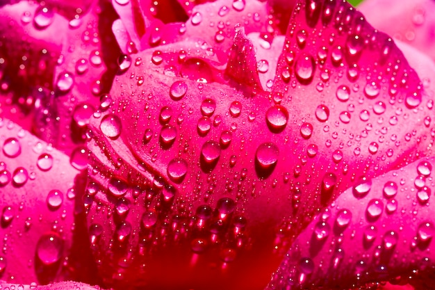 Red peony petals with water drops, close-up of a flowering plant with plant details, spring or summer season, flowerbed with flowers