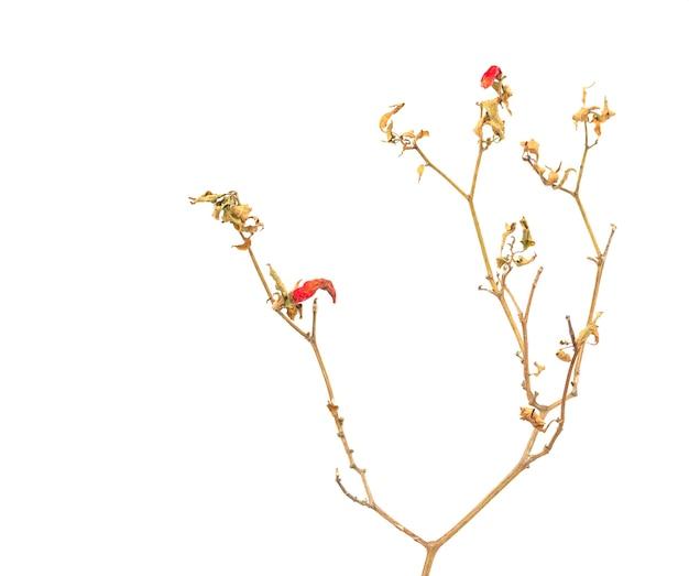 白で乾燥している唐辛子の木に赤唐辛子