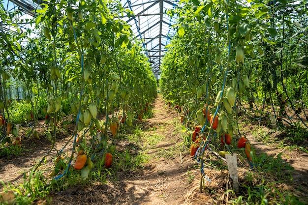 有機農場の温室で育てられた赤唐辛子