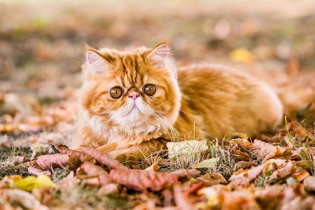Красный персидский кот на осеннем фоне с опавшими сухими листьями