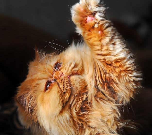 赤いペルシャ猫がソファで遊んでいます