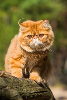 Красный персидский кот сидит на пляже балтийского моря