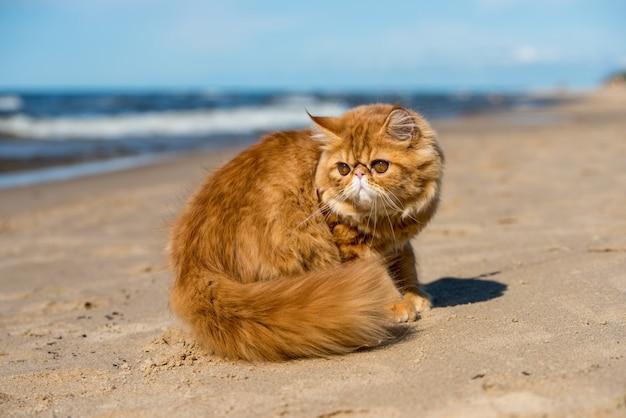 붉은 페르시아 고양이가 발트해 해변에 앉아 있다