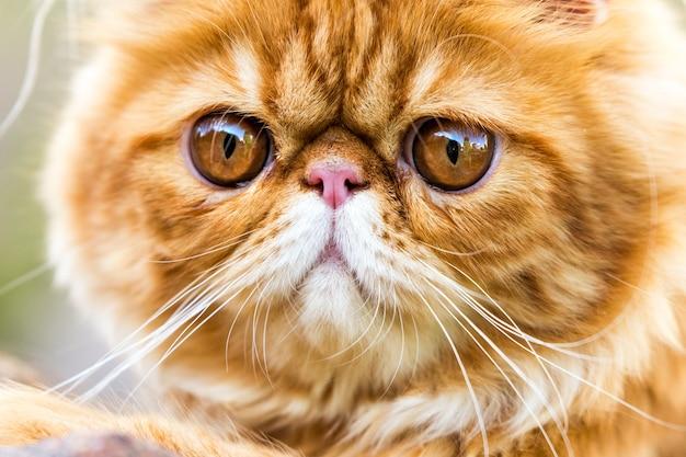 Портрет красной персидской кошки с большими оранжевыми круглыми глазами