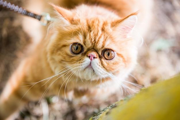 Red persian cat portrait with big orange round eyes