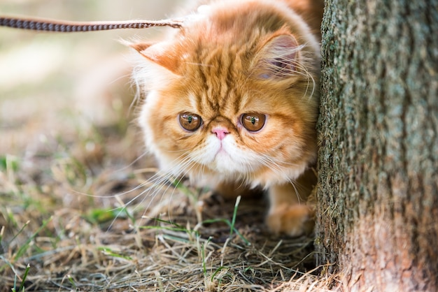 Red persian cat portrait with a leash walking in the park