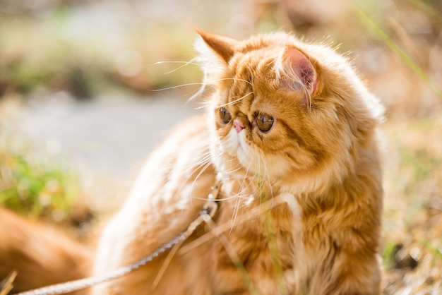 Red persian cat portrait with a leash walking in the yard