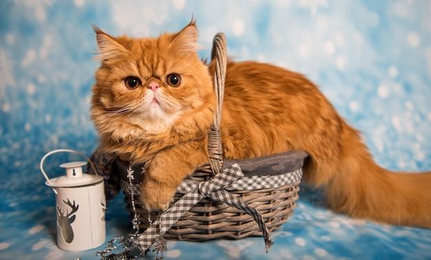 Красный персидский кот сидит в корзине на рождество
