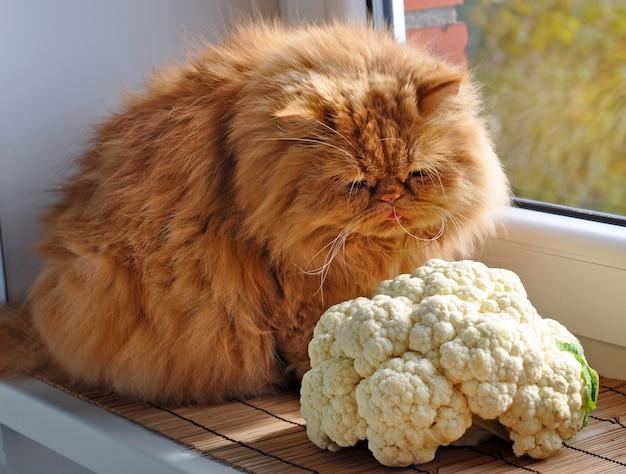 Красный персидский кот сидит на подоконнике возле цветной капусты и смотрит в окно
