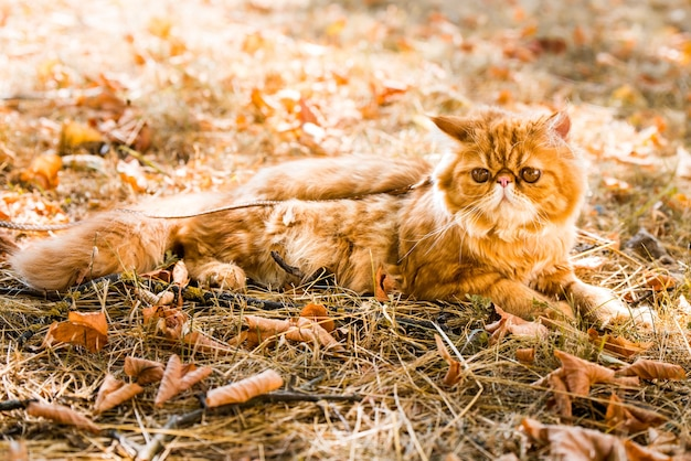 Красный персидский кот на поводке гуляет во дворе