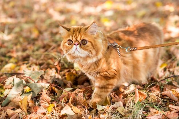 마당에서 산책하는 가죽 끈을 가진 빨간 페르시아 고양이