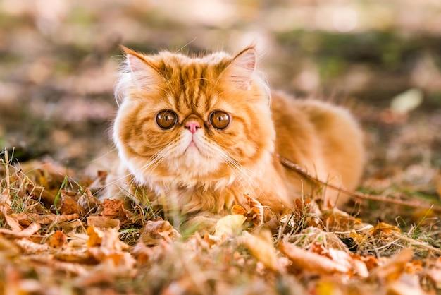 마당을 걷고 있는 가죽끈이 달린 붉은 페르시아 고양이.