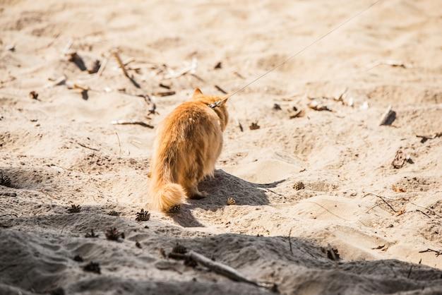 Красный персидский кот на поводке гуляет по пляжу