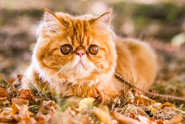 Red persian cat with a leash walking in the yard