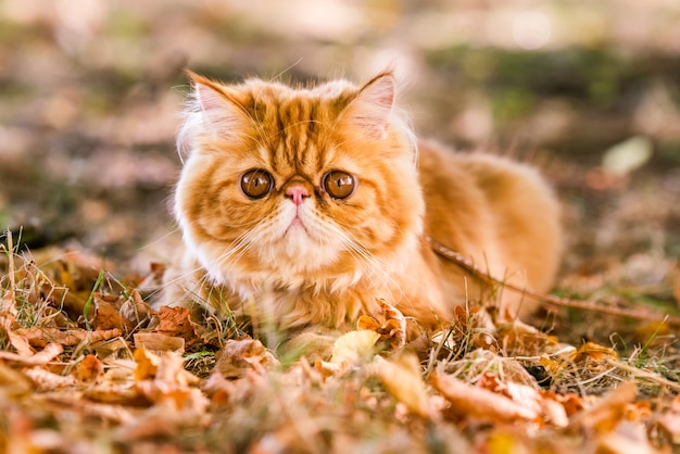 Red persian cat with a leash walking in the yard.