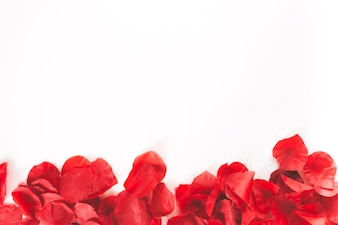 Red petals on white background