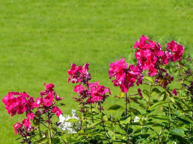 緑の芝生の庭に赤いフロックス。