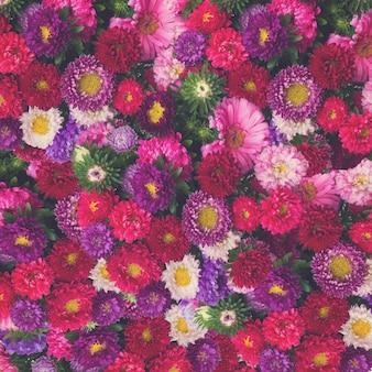 Красные, розовые и фиолетовые цветы астры
