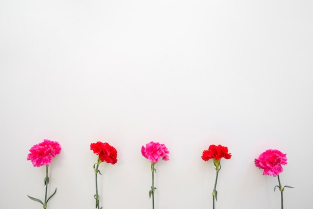 Red and pink carnation flowers arranged on bottom of white backdrop
