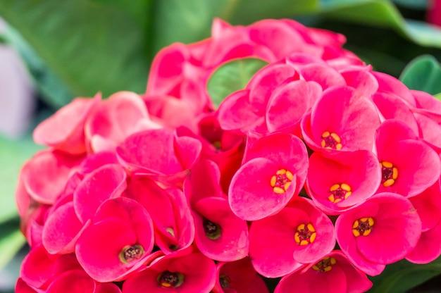 赤いピンクの冠棘の花束。