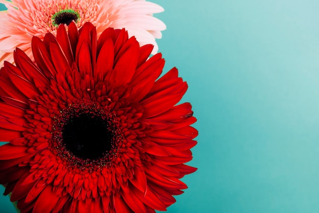 Red and pink gerbera flower on turquoise backdrop