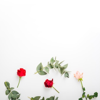 Red and pink roses with twig on white background