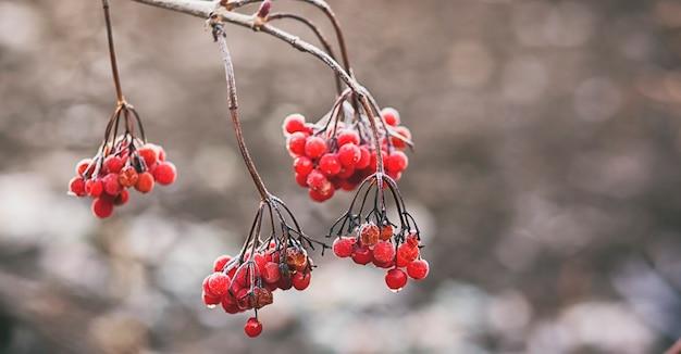 赤い植物は霜に覆われています