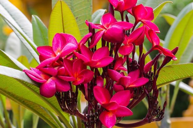 Red plumeria flowers on tree beautiful